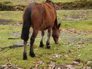 cabalo con corda nas patas dianteiras en Chan de Arquiña en decembro de 2011