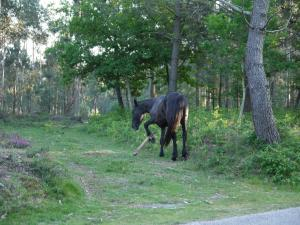 cabalo con pexa en Chan de Arquiña en abril de 2011