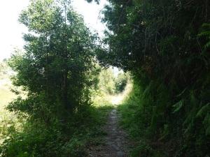 camiño do Prado invadido por acacia de madeira negra