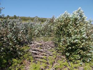 rebrotes de eucaliptal con ramada seca sen retirar