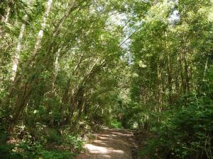 invasión de mimosa pista forestal perto do corredor de alta capacidade Caballal de Coiro