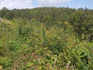 matogueira alta e eucaliptal Montes do Hio
