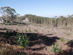 eucaliptal hío