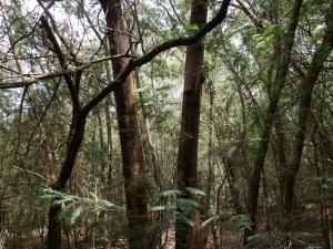invasión de Acacia mearnsii no Carballal de Coiro