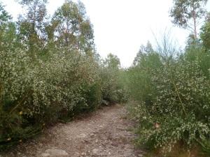 pista forestal pechandose pola vexetación en Os Pedrouzos (Marín)