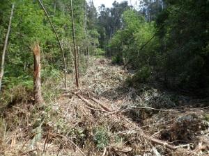 residuos de corta de eucalipto entre a carballeira no Carballal de Coiro