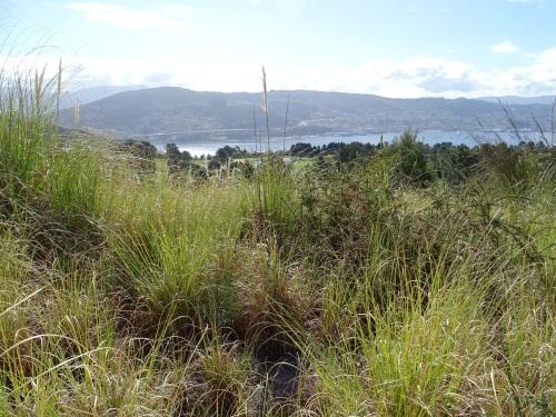 invasión de herba da pampa na zona A urbanizable