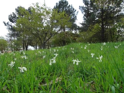 Comunidade vexetal de amarelles (Narcissus triandrus)